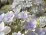 アジサイ万華鏡開花