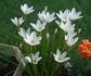 白く浮かぶ花、タマスダレ