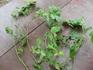 ピエールドゥロンサール 挿し木から花まで