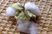 初めての出逢い 和綿の花