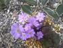 雪割草 この親株の種をまいて育てています