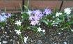 チオノドクサ(発芽から開花へ)