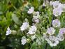シレネ・ユニフロアを初めて種で育てます