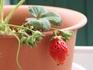 イチゴの増やし方