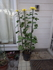 3本立盆養菊作り