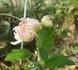 3本立盆養菊作り2