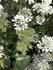 オルレア 種の収穫