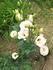 2年越しで咲いたトルコギキョウ