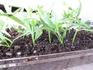 挿し芽でキンギョソウ栽培