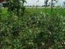 私のりんご栽培