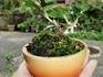 ヒイラギの小盆栽づくり