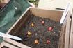 トリスケタニカ タルダを植えました。