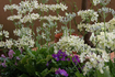 ウィンティーの種まき 毎年咲かせる!