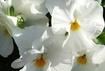 お花はキラキラ☆白だもん