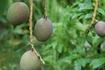 完熟の熱帯果樹を食べたい!