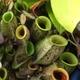 食虫植物を買いたい・育てたい・殖やしたい