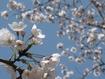 サクラ/桜 自宅でお花見しませんか?