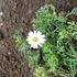 四季咲きコスモス