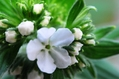 ムラサキ 開花