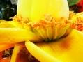 ウンナンチユウキンレン 開花