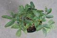クリスマスローズの原種(H.アーグチフォリウス)