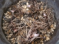 日本桜草の植え替え