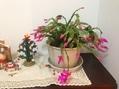 シャコバサボテン 咲きました