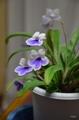 葉柄から花茎[i:159]…ストレプトカーパス