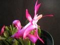 復活 2鉢目咲ました。