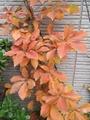 トムソンツタの紅葉 & 時期外れの花