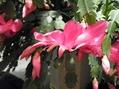 シャコバが開花!