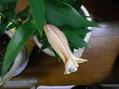 蕾がしわしわになっちゃってる~12月咲きカサブランカ