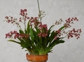 Onc.twinkle(Red)