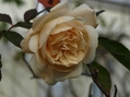 そろそろ薔薇の誘引、植え替え