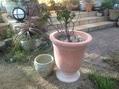 鉢植えのバラの植替え