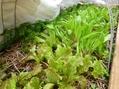 節分草とクリスマスローズの発芽