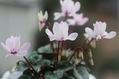 八重咲きシクラメン'S