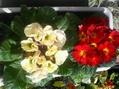 プリムラの葉っぱ