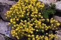 【植物図鑑】アリッサムなど3種類の植物情報追加