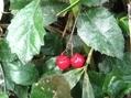 温泉で赤い実