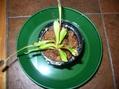 3つ目の水槽/ハエトリソウ植え替え/育ってる