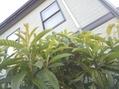 枇杷の花が咲いてたのね('-'*)♪~パウダーシュガー