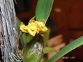 バルボの初花