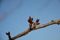 冬芽クイズ:どんな花を咲かせるでしょう?