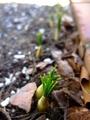 水仙開花&春の発芽