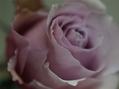 薔薇の根鉢