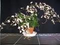 イオノシジウムが咲きました