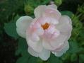セミダブルのバラ