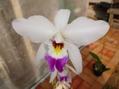 背高のっぽの蘭です