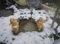 お庭の雪化粧~写真の練習~f(^_^;